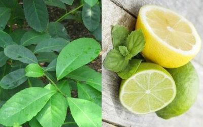 Чай для похудения — как приготовить